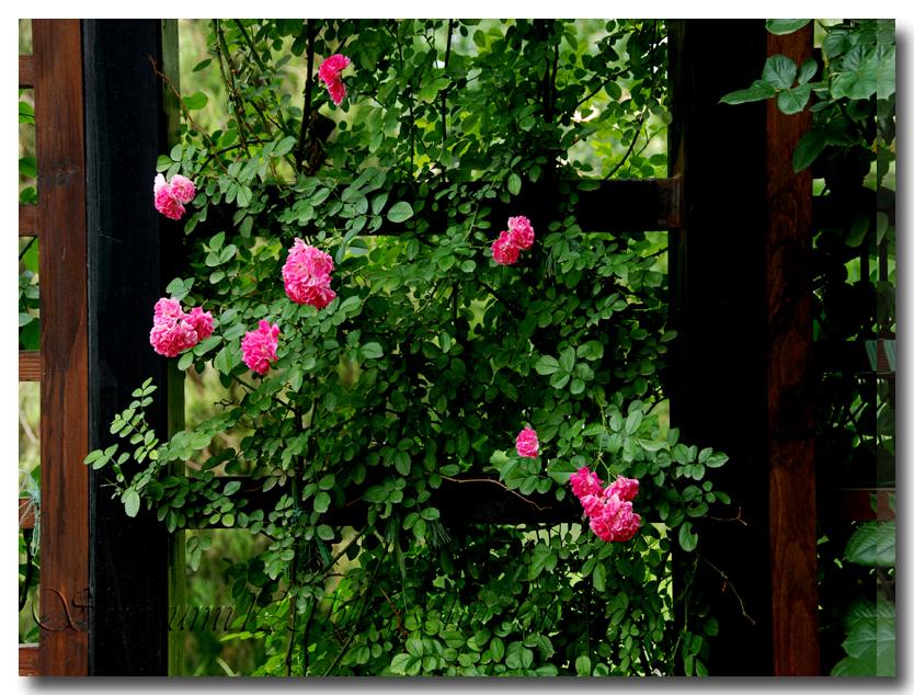 攀藤植物花边素材