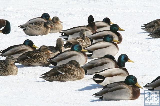绿头鸭睡觉的时候总是排成一排