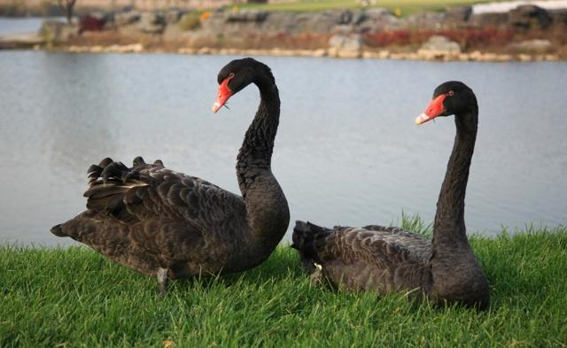 两只黑天鹅图片