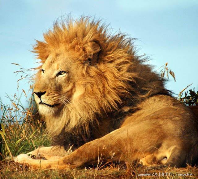 有的狮子很幽默,它们会做各种怪样子给你看.