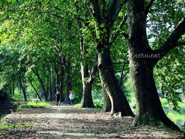 每到夏天,这些梧桐树的树叶挨挨挤挤的一丝缝隙都没有.