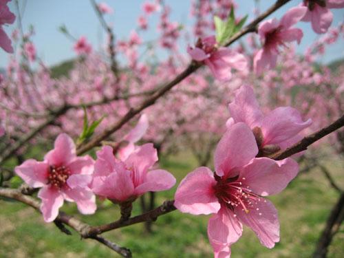 手绘春天桃花小溪