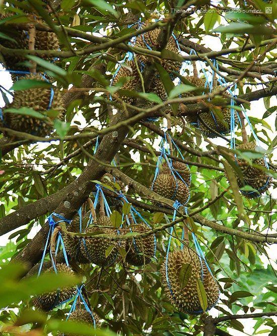 榴莲树叶子图片